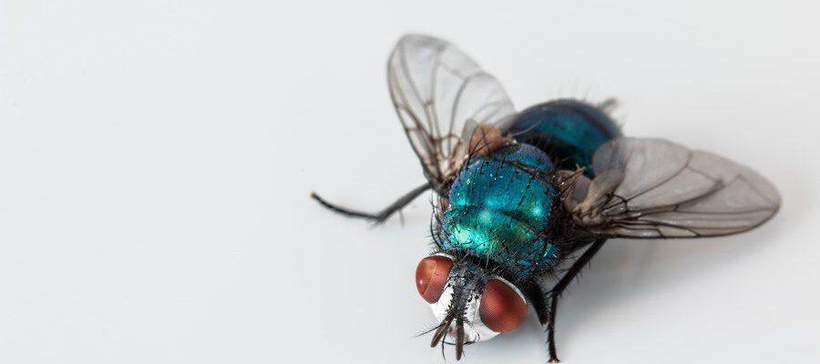 Die Fliege an der Wand – Ein Dankeschön an eine kleine Botschafterin